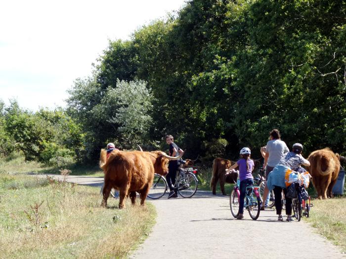Freilaufende Hochlandrinder auf dem Radweg.