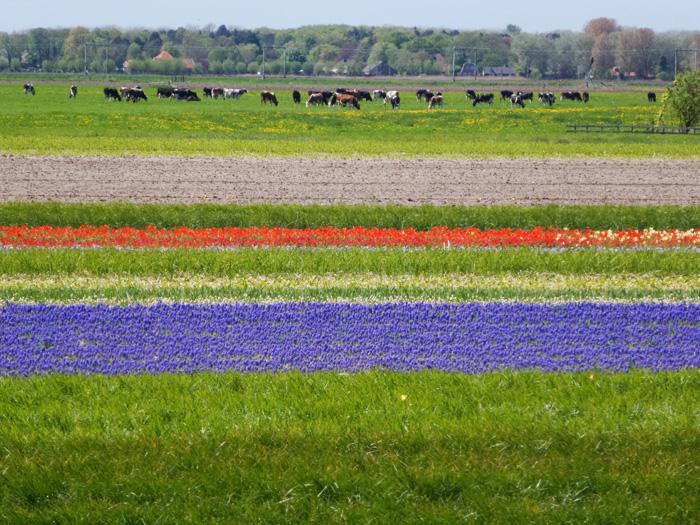 Blumenfelder und Kuhweiden am Dünenrand.